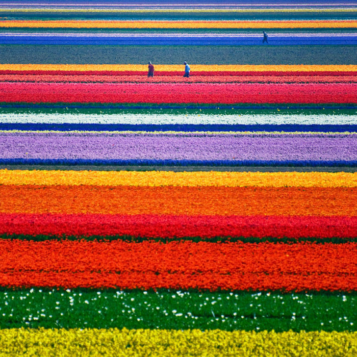 tulip-fields-netherlands